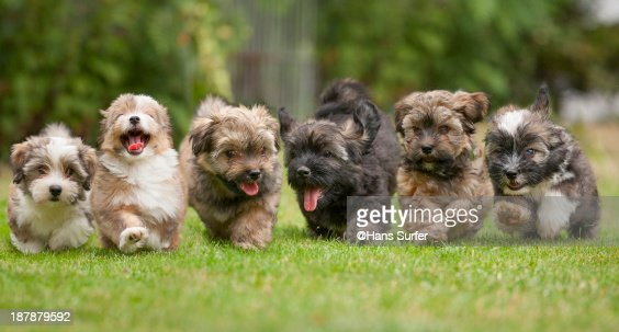 6 Running Havanese Puppies Of 9 Weeks Stock Photo Getty Images