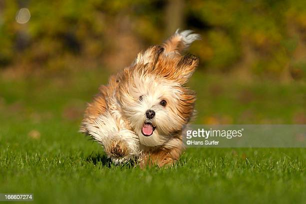 Running Havanese puppy in the sunset