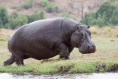 """A running/charging hippo in the Chobe River in Chobe National Park in Botswana, Southern Africa"""