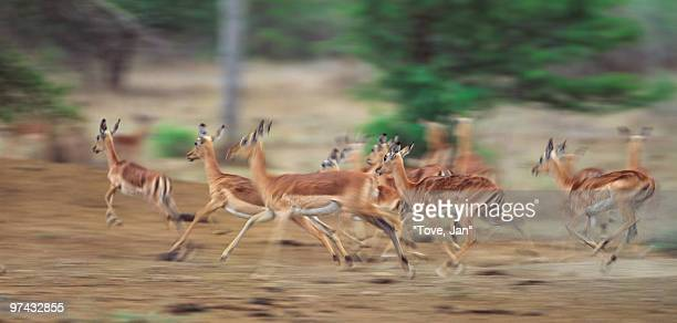 Running impalas, South Africa.