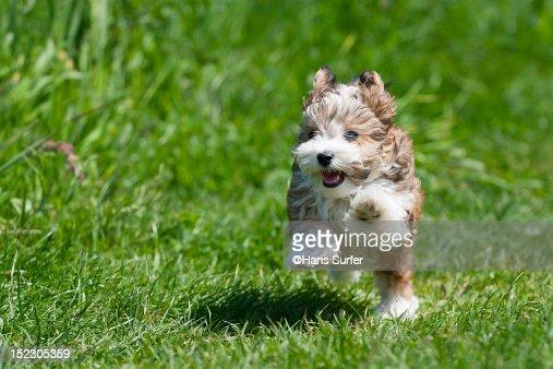 Running puppy : Stock Photo