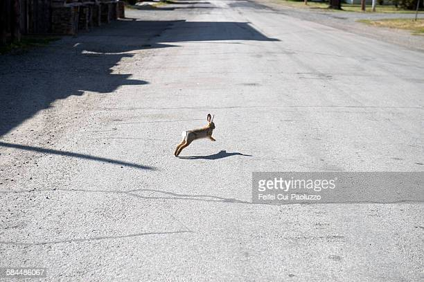 Running Rabbit in the street of Reed Point Montana