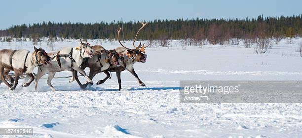 Running reindeers