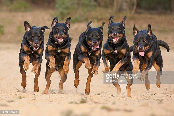 5 running Rottweilers on a row!
