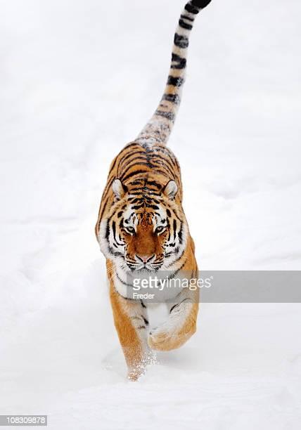 Tigre de course