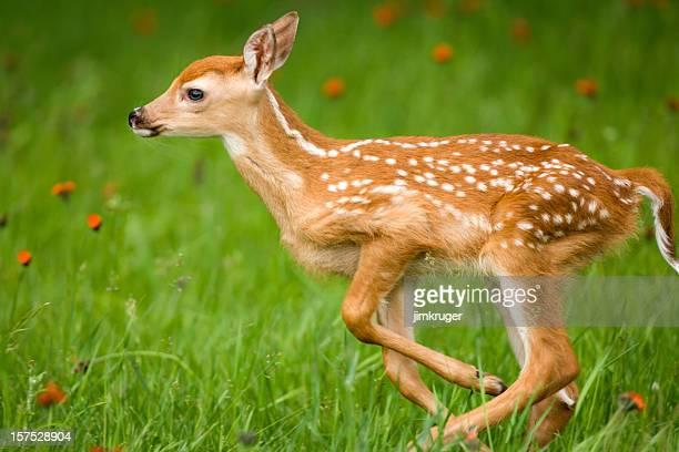 Läuft sehr jung whitetail deer mit Flecken.