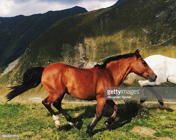 Running wild horse in the mountains