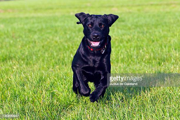 Running young black Labrador Retriever dog (Canis lupus familiaris), male, domestic dog
