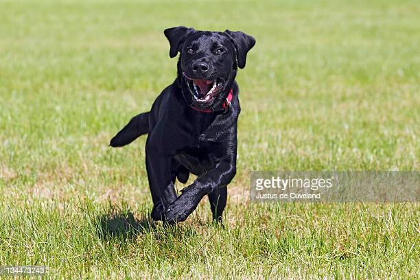 Running young black Labrador Retriever dog, male, short-haired type, domestic dog,