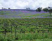 Rural landscape with vineyards & grazing sheep & cattle, Clare Valley