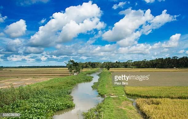 Rural Scene Rice Fields in Central Java