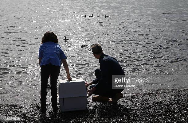 Russ Curtis of the International Bird Rescue Center and his daughter Elizabeth Russell release rehabilitated Common Murres into the San Francisco Bay...