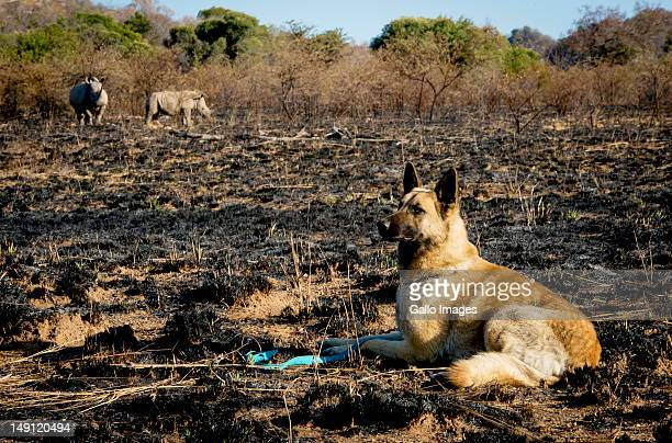 Russel the Belgian Shepherd guards a rhino and her calf walk in the Pilanesberg nature reserve on July 22 2012 in the North West Province South...