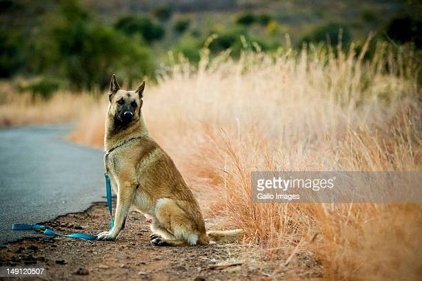 Russel the Belgian Shepherd walk looks on in the Pilanesberg nature reserve on July 22 2012 in the North West Province South Africa Russel is one of...