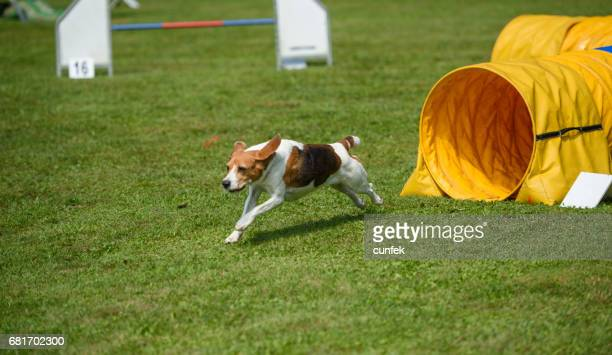 Russell Terrier out of the tunnel