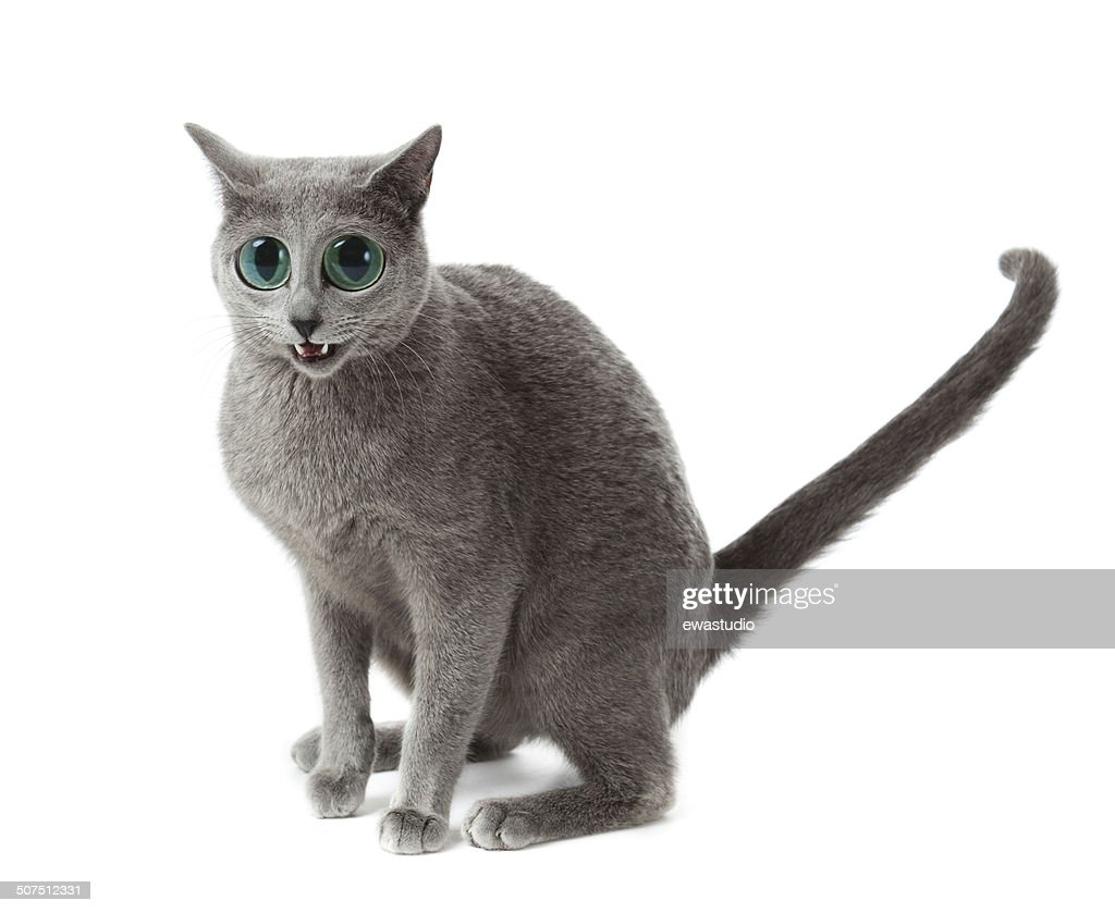 Russian Blue Cat White Stock