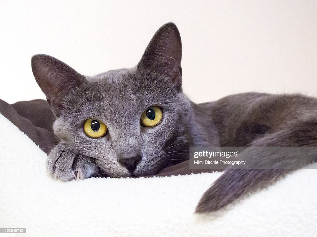 Russian Blue Cat Stock s and