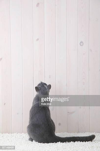 Russian blue cat sitting, rear view