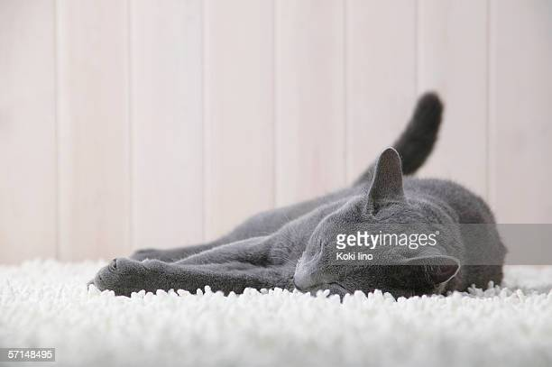Russian blue cat sleeping
