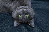 Russian Blue Cat Upside Down