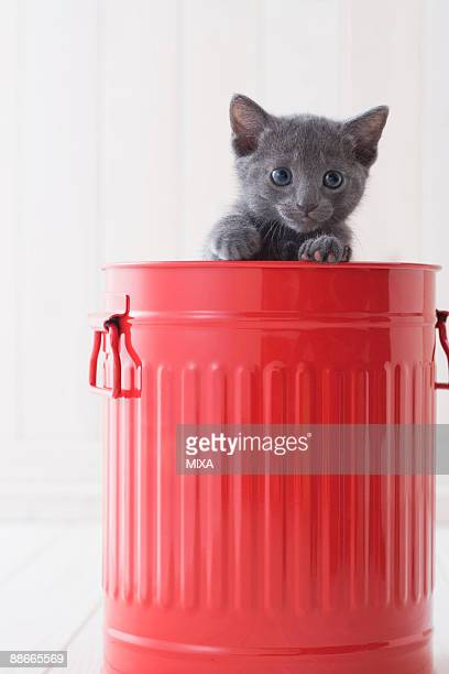 Russian blue in a bucket