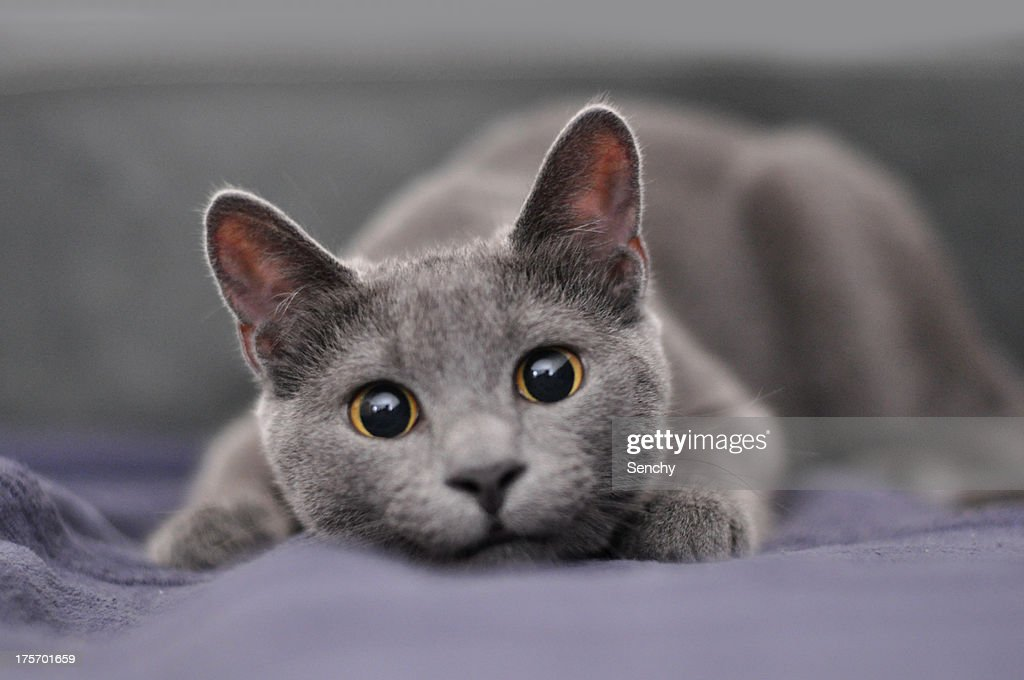 Gray Tabby Cat And Russian Blue