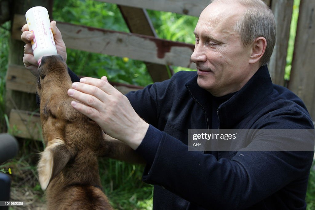 Russian Prime Ministers <a gi-track='captionPersonalityLinkClicked' href=/galleries/search?phrase=Vladimir+Putin&family=editorial&specificpeople=154896 ng-click='$event.stopPropagation()'>Vladimir Putin</a> gives milk to moose during his visit to Moose Island National Park in Moscow on June 5, 2010.
