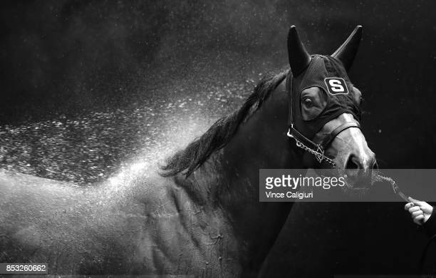 Russian Revolution enjoys a wash after galloping during a trackwork Session at Moonee Valley Racecourse on September 25 2017 in Melbourne Australia