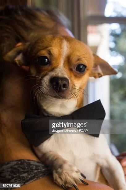 Russian toy terrier in boy tie