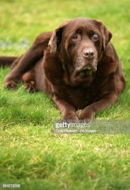 Rusty a chocolatecoloured Labrador who has lost five stone in less than two years