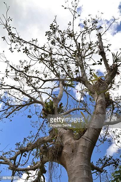 Rusty Fig Tree over a summer sky (ficus rubiginosa)