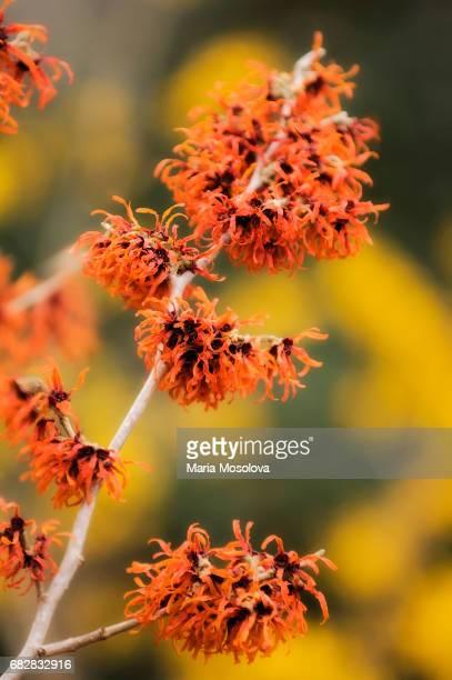 Rusty Orange Flowers of Witchhazel