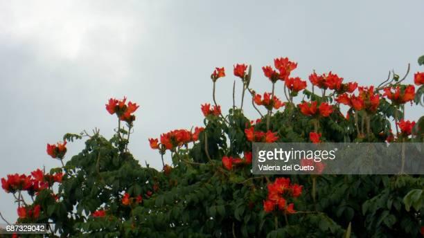 Árvore florida em Aquidauana