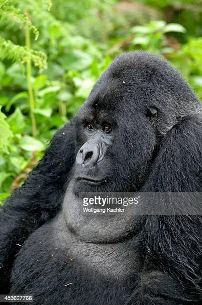Rwanda Volcano National Park Mountain Gorilla Silverback Portrait