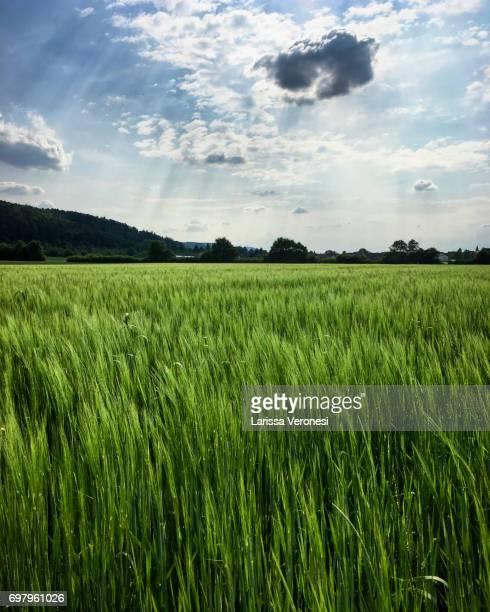Rye field, Baden-Württemberg, Germany