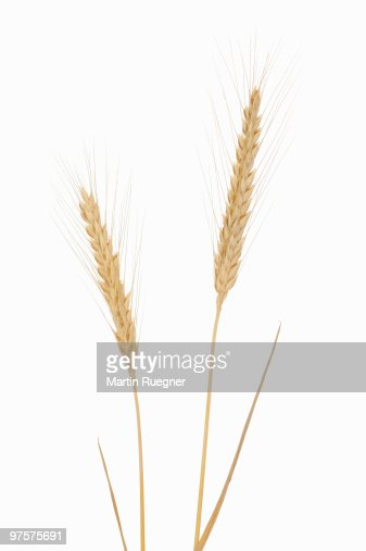 Rye (Secale cereale), white background. : Stockfoto