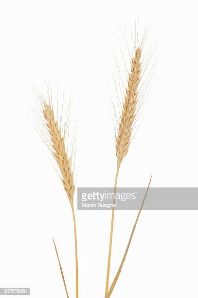 Rye (Secale cereale), white background.