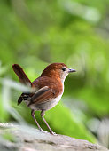 A Ryukyu robin designated a Japanese natural treasure is pictured in the Yambaru region of Okinawa Prefecture on June 30 2016 The region was...