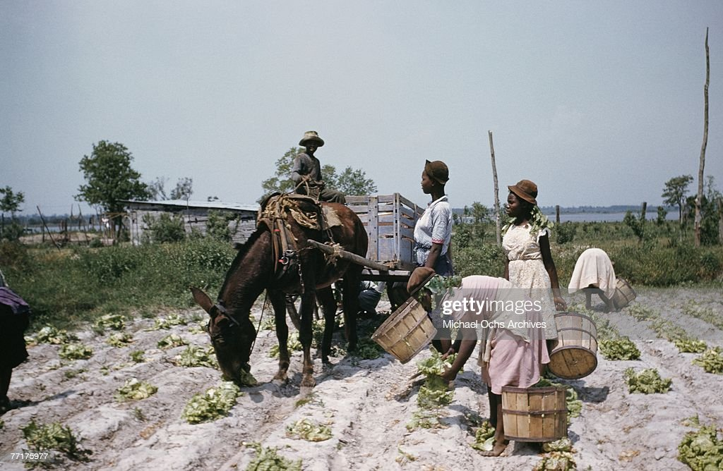 MID 1930's Slaves work the fields during a recreation of pre Civil War life on a plantation circa mid 1930's in the deep south