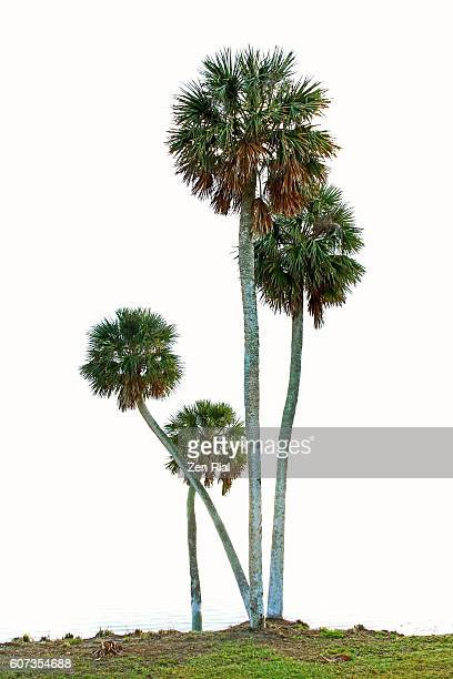 Sabal Palmetto or Sabal Palm or Cabbage Palm trees of different heights against white background
