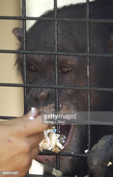 Sabina a 12–year–old chimpanzee gets a helping of banana–nut cake celebrating Chimp Independence Day Wednesday morning at the Wildlife Waystation She...