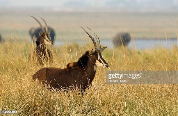 Sable (Hippotragus niger) alerted, Chobe, Botswana