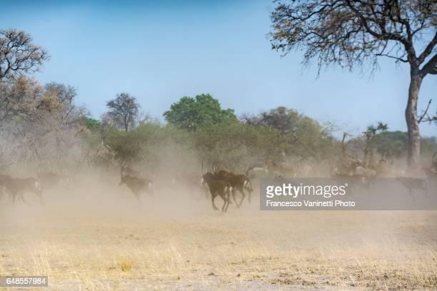 Sable antelopes running in dust.