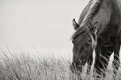 A Sable Island wild stallion grazing on blades of marram grass in the sand dunes. A rare glimpse into the world of Sable Island.