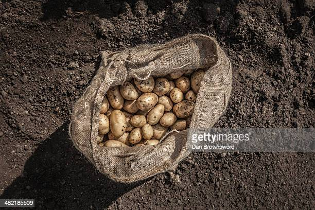 Sack of freshly harvested potatoes