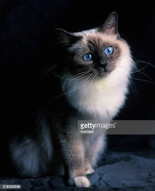 Sacred Birman cat Felis catus seated