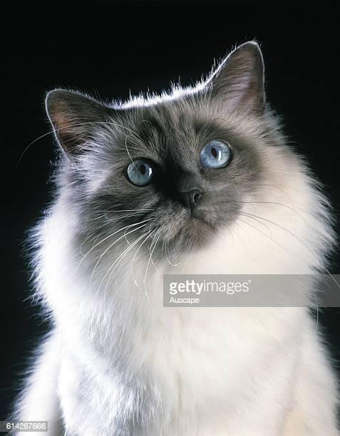 Sacred Birman cat portrait showing blue eyes