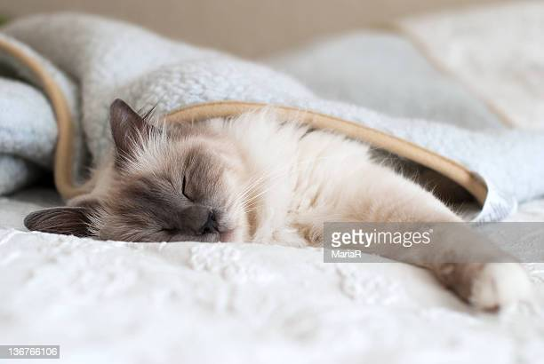 Sacred birman cat sleeping under blanket