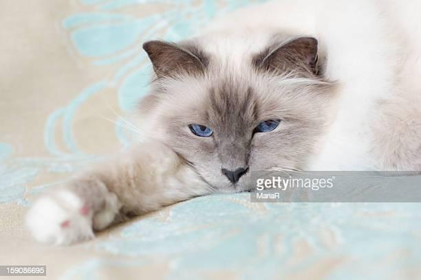 Sacred birman cat with blue eyes lying