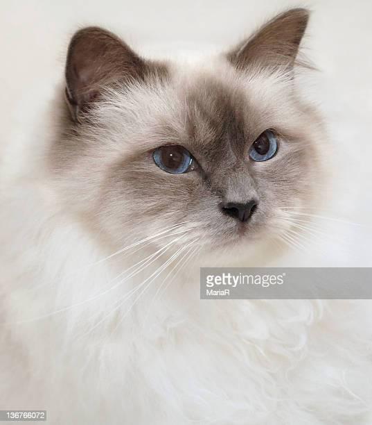 Sacred Birman cat with blue eyes